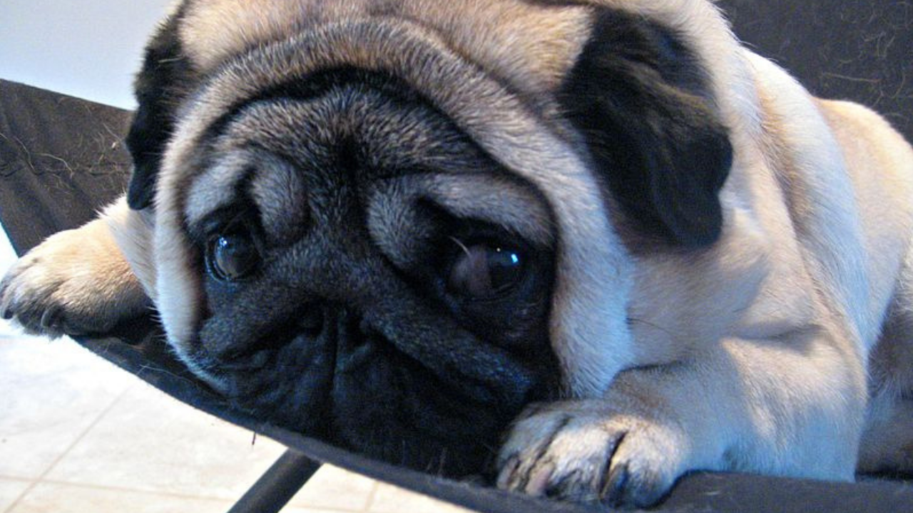 Ciudad china limita a tener a un perro por familia