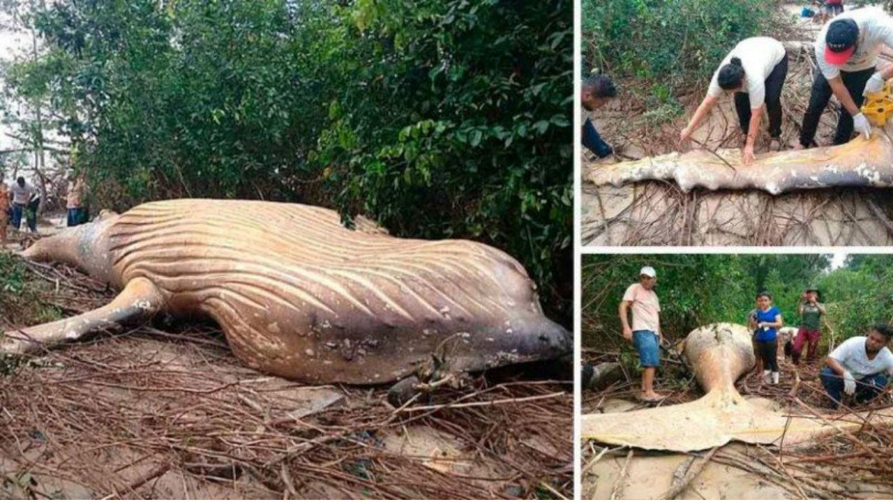 ballena amazonas