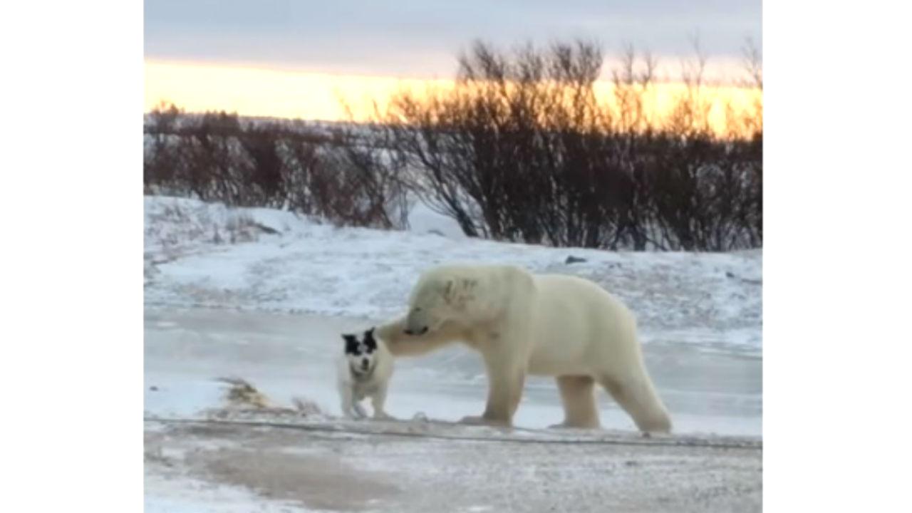 oso polar perrito