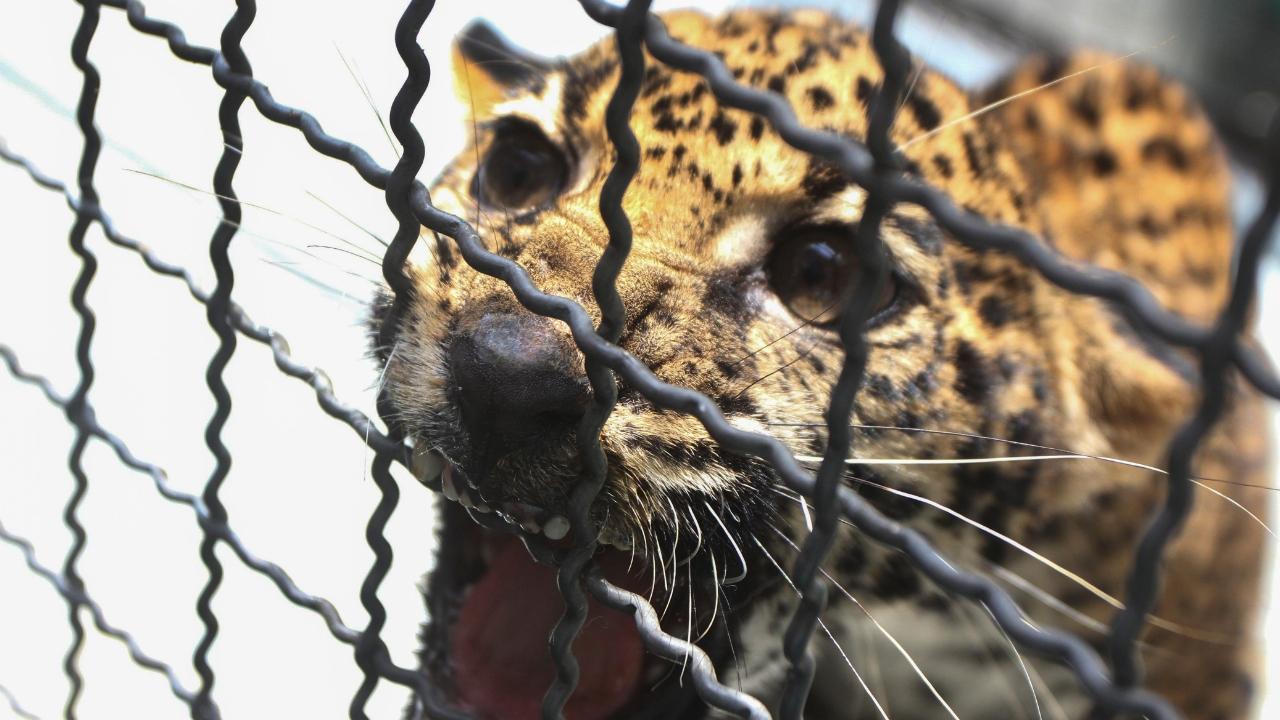 Jaguar Chihuahua