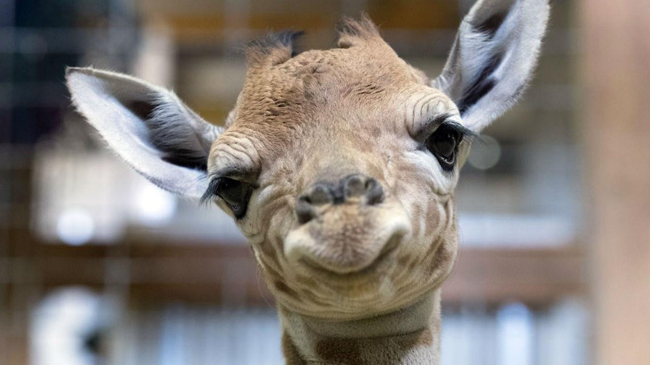 jirafifíta jirafa beebé chapultepec