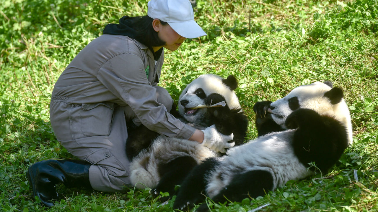 pandas gemelos