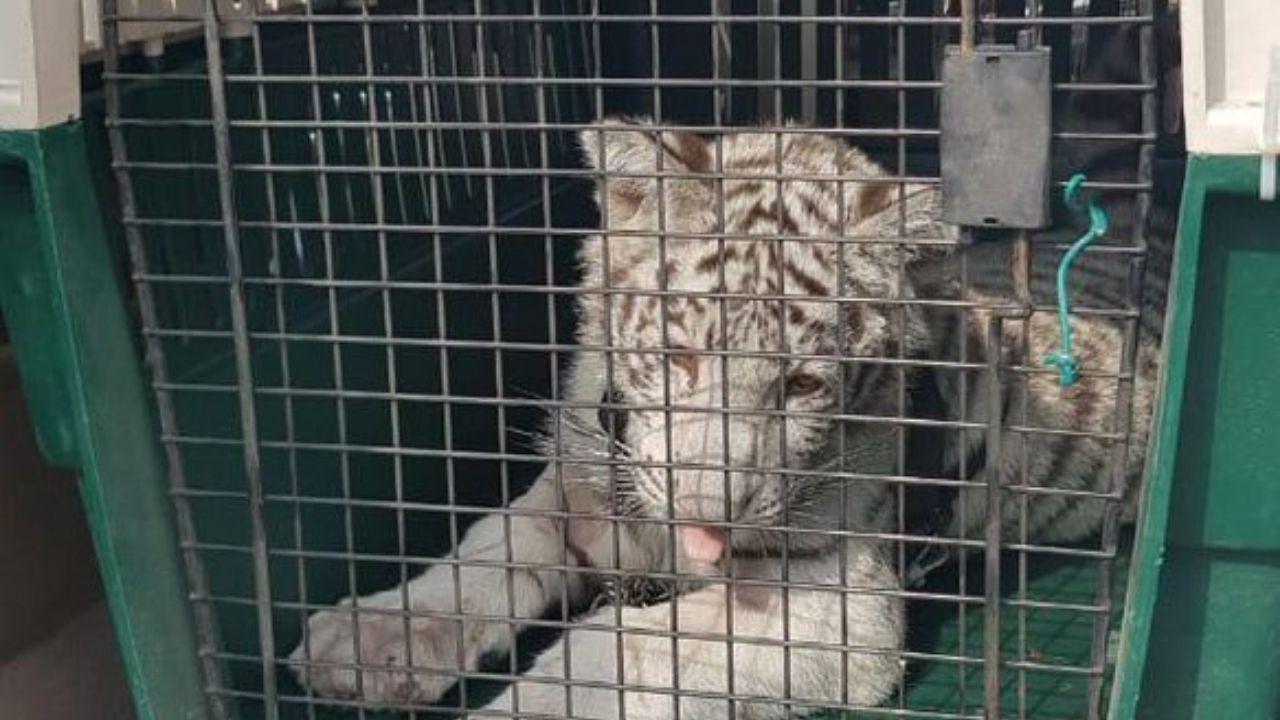Tigre blanco Veracruz