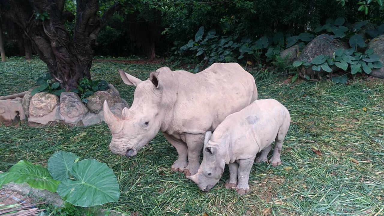 rinoceronte blanco extinción