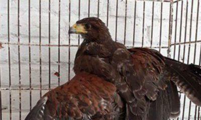 águila tlatelolco