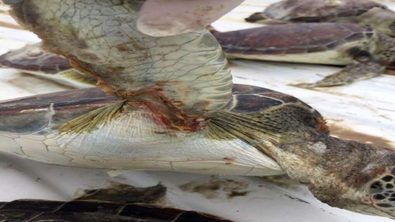 tortugas muertas soto marina