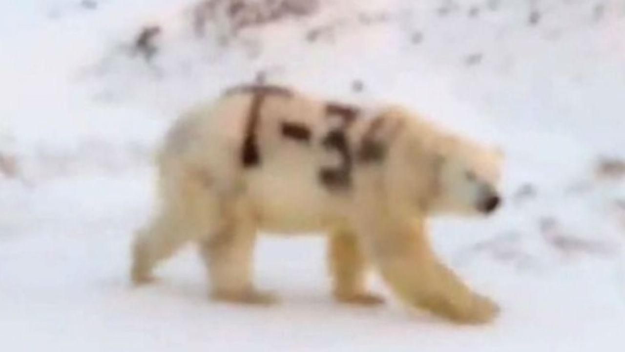oso polar pintado