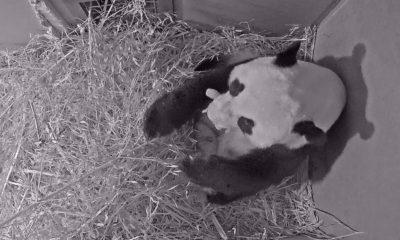 pandas holanda