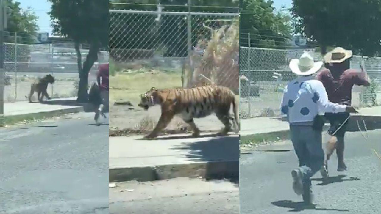 tigre Jalisco