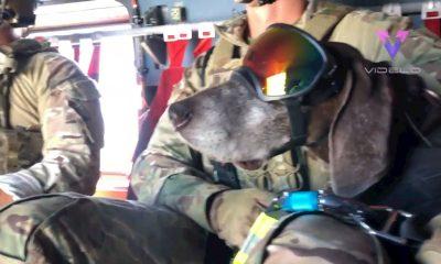 perritos militares