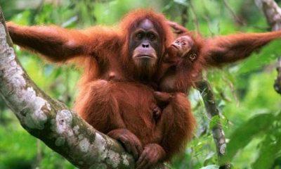 Orangutan Aceite