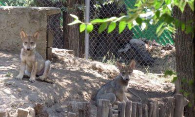 cachorros lobo mexicano