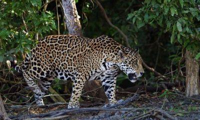 Jaguar Quintana Roo