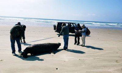 muerte lobos marinos